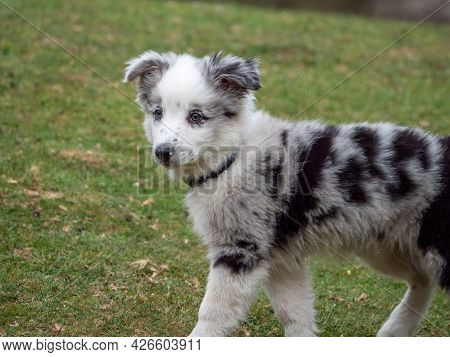 White Puppy With Black Spots Walking In The Park. Black And White Puppy With Collar Walking On Grass