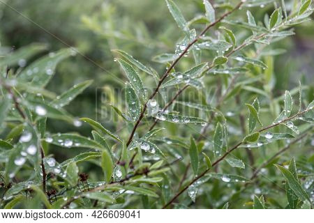 Background From Green Bush Branches With Dew Drops. Natural Background