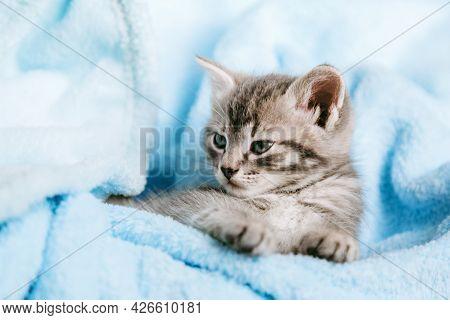 Tabby Gray Kitten Lying Resting. Cat Kid Mammal Animal Pet With Interested Facial Face Look On Camer