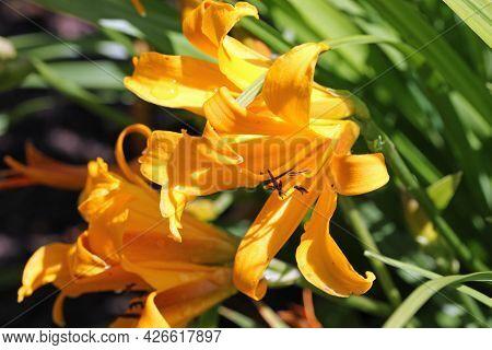 Orange Copper Daylily, Hemerocallis Dumortieri Unknown Variety, Flower Close Up With A Blurred Backg