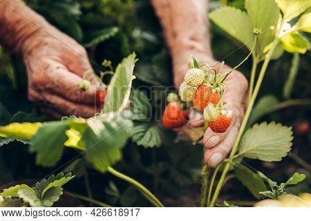 A Male Farmer Harvests Ripe Strawberries. Harvesting Fresh Organic Strawberries. Hands Of A Farmer P