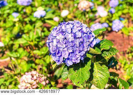 Blooming Blue Hydrangeas Flowers In The Garden.