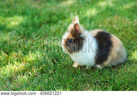 Home Decorative Rabbit Outdoors. Cute Little Bunny. Cute Dwarf Decorative Fluffy Rabbit. Bunny On Gr