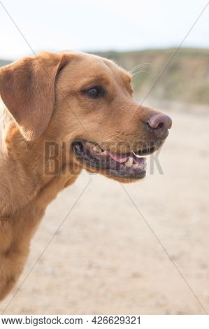 A Close Up Profile Portrait Of A Fox Red Labrador Retriever Pet Dog On A Sandy Beach With Mouth Open
