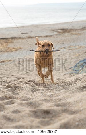A Labrador Retriever Dog Running On A Sandy Beach With A Stick In Its Mouth