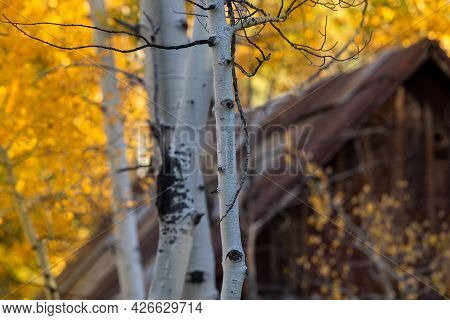 Unidentified Wooden Cabin In An Aspen Grove, In The Sierra Nevada, California, Usa, Featuring Yellow