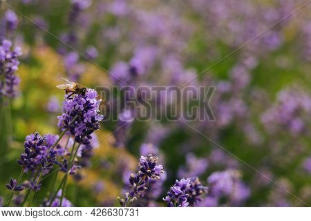 Beautiful Lavender Flowers And Bee In A Summer Garden.  Selective Focus. Place For Text.
