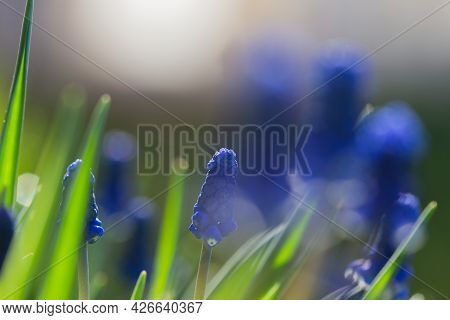 Muscari Hyacinth Blue Flowers Grow On A Flower Bed In Spring, Beautiful Light Falls, Place For Text,