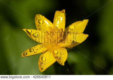 Yellow Flowers Grow On A Flower Bed In Spring, Beautiful Light Falls, Place For Text, Selective Focu