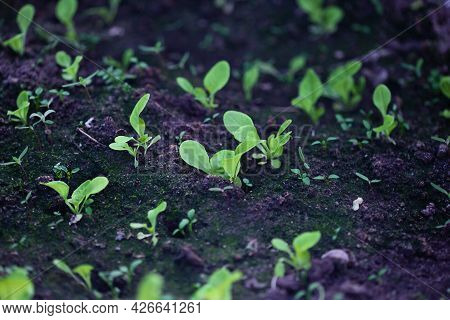 Green Plants Growing On A Bed In The Garden In Greenhouse, The Concept Of Organic Cultivation Of Veg