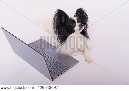Smart Dog Papillon Breed Works At A Laptop On A White Background. Continental Spaniel Uses A Wireles