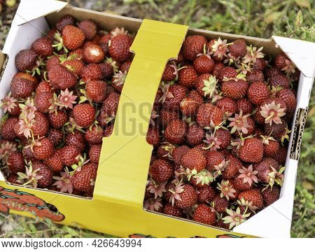 Strawberries In A Paper Container. Disposable Cardboard Container For Picking Berries. Close-up. Hig