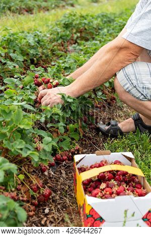 Picking Strawberries In The Field. Harvesting. Finnish Agriculture. Self-picking Of Berries. A Hand