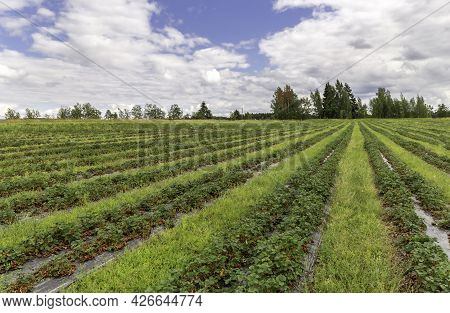 Picking Strawberries In The Field. Harvesting. Finnish Agriculture. Self-picking Of Berries. Photo.