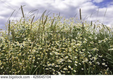 Pharmacy Chamomile Blooms In The Field. Collection Time Medicinal Plants. Concept. Photo.
