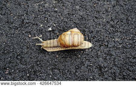 Big Garden Snail In Shell Crawling On Wet Road Hurry Home