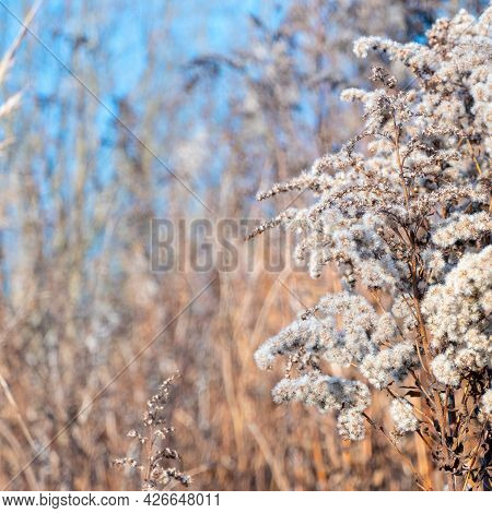 Dry Reed Against Clear Light Blue Sky On Sunny Day Outdoors. Abstract Natural Background In Neutral