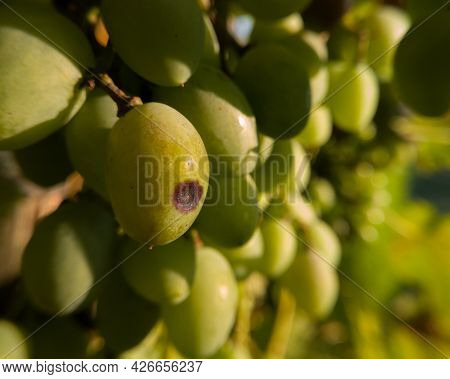 Close Up Of Green Grapes With Illness, Damaged Crop