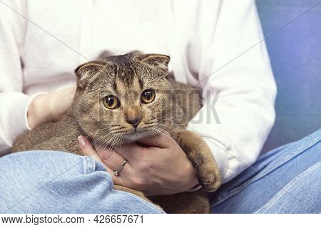 Scottish Fold Cat Scottish Fold Cat Sits In A Woman's Arms. The Pet Is Hiding In The Hands Of The Ow