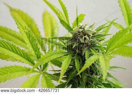 Cannabis Buds Close-up On A Light Background. A Mature Marijuana Bush