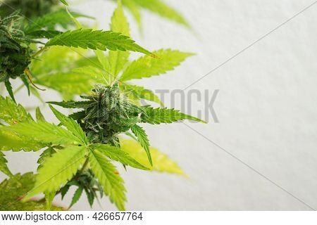 Marijuana Leaves, Cannabis On A White Background, Beautiful Background, Indoor Cultivation. With Cop