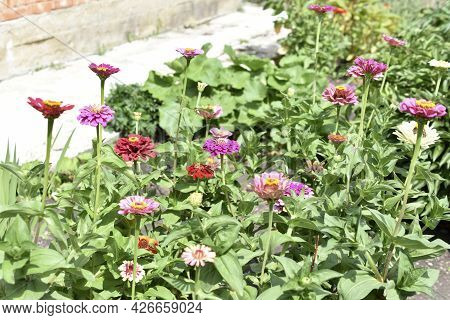 Colorful Flowers Of Zinnia Elegant In The Garden