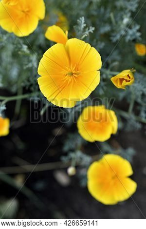 Yellow-red Flowers Of The Ashsholtia Poppy Papaveraceae In The Greenery In Summer