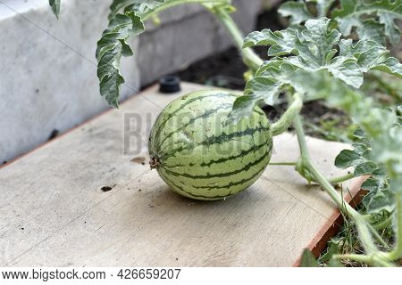 Small Watermelon Fruits On A Branch In Summer