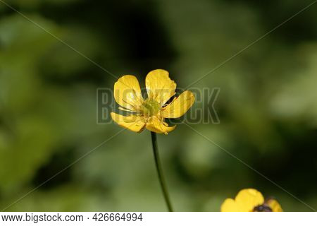Flower Of A Creeping Buttercup, Ranunculus Repens