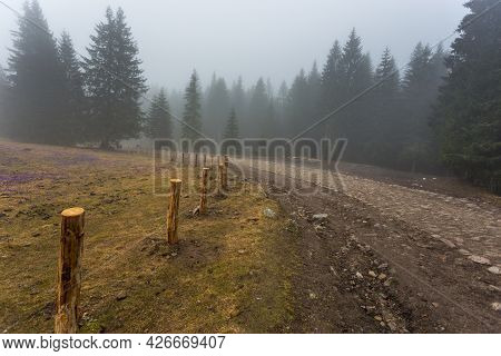 Chocholowska Valley On A Misty Spring Day. A Clearing With Blooming Crocuses. Tatra Mountains, Polan