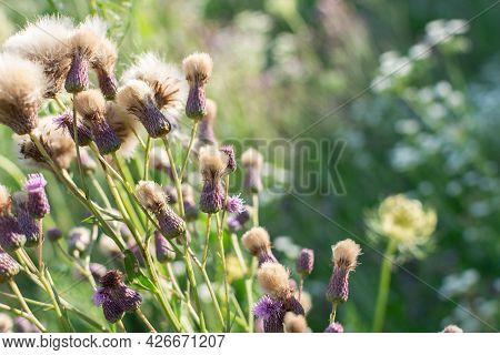 Seeds Of Thorny Weed In The Field, Field Thistle, Sow Thistle. Summer Theme.
