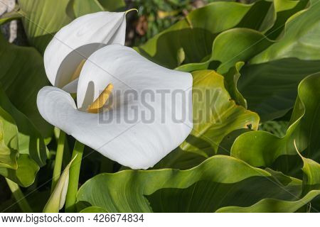 View Of Calla Lily Flower Growing With Sunlight Outdoors In Spring