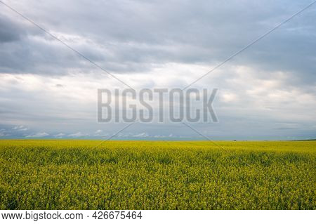 A Canola Field In Bloom In Alberta On A Cloudy Day.
