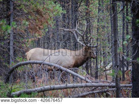 Trophy Bull Elk. Wild Majestic Bull Elk In Natural Outdoor Setting. Wildlife Scene Of Elk In Natural