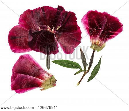 Pressed And Dried Flower Godetia Isolated On White Background. For Use In Scrapbooking, Floristry Or