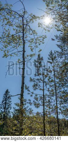The Nature Of The Taiga. Beautiful Summer Forest Landscape With Fir Trees. The Sun Is Peeping Out Fr