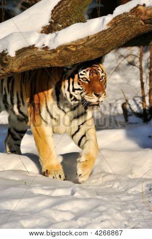 Amur Tiger On The Snow