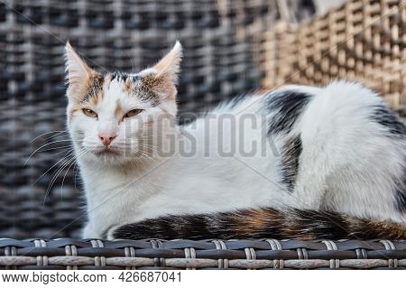Portrait Of An Adorable Domestic Cat Lying On The Street On An Armchair. The Cat Squints In The Sun