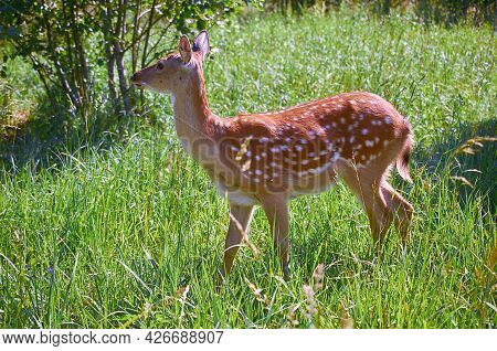 Spotted Deer In A Clearing In The Forest. Summer Landscape. Cervus Nippon
