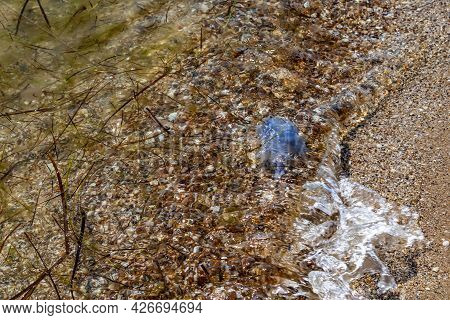 Dead Blue Jellyfish Washed Ashore By The Wave. The Mucous Body Of The Poisonous Rhizostoma Pulmo On