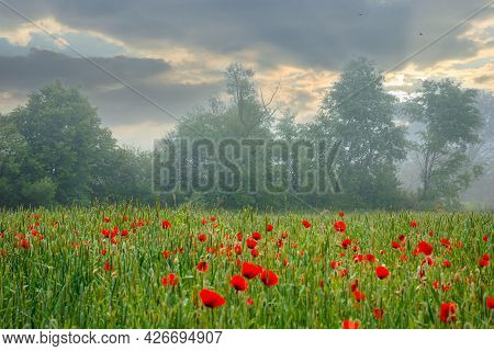 Red Poppy Flowers Among The Green Wheat Field. Beautiful Rural Scenery At Foggy Sunrise. Trees Blurr