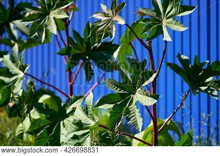 Carved Decorative Leaves Of Castor On The Background Of A Blue Hedge. Selective Focus.