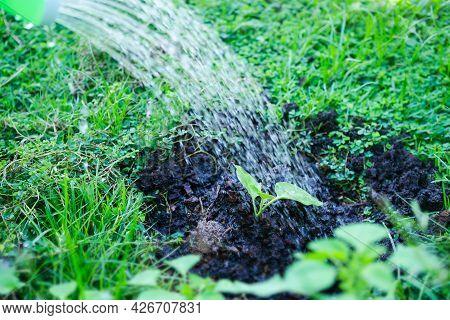Watering Small Trees Eggplant Growing In Soil. Vegetable Growing Experiment By Organic. Saving Envir