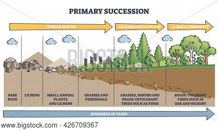 Primary Succession And Ecological Growth Process Stages Outline Diagram. Labeled Educational Species