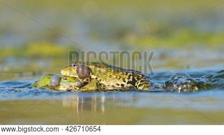 Green Frog Pelophylax Ridibundus Mating In The Habitat.