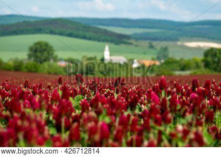 Idyllic Landscape And A Flowering Crimson Clover Farmland