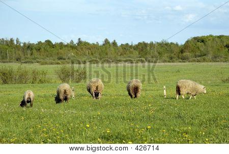Lambs Bumming