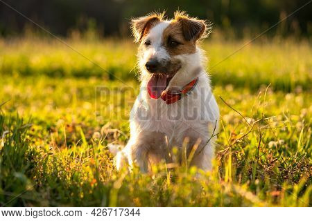 Purebred Jack Russell Terrier Walk Outdoors In Grass On A Sunset, Soft Sun Backlight In A Park