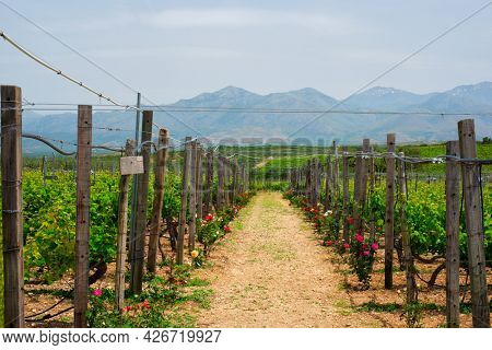 Wineyard with grape rows with roses serving as plant health indicators. Crete island, Greece