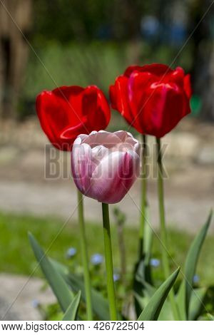 Beautiful Spring Flowers Of Red Tulips Blooming In The Garden, Close Up